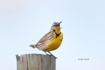 Meadowlark;One;Sturnella-neglecta;Western-Meadowlark;avifauna;bird;birds;color-i