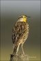 Florida;Eastern-Meadowlark;Meadowlark;Southeast-USA;Sturnella-magna;one-animal;c