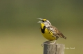 Florida;Southeast-USA;Eastern-Meadowlark;Meadowlark;Sturnella-magna;One;one-anim