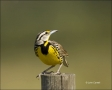 Florida;Southeast-USA;Eastern-Meadowlark;Meadowlark;Sturnella-magna;one-animal;c