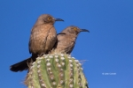 Curve-billed-Thrasher;Thrasher;Toxostoma-curvirostre;avifauna;bird;birds;color-i