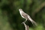 Mockingbird;Northern-Mockingbird;Southwest-USA;Texas