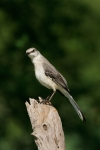 Mockingbird;Nest;Nesting;Northern-Mockingbird;One;Photography;Southwest-USA;Texa