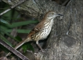 Brown-Thrasher;Thrasher;Toxostoma-rufum;one-animal;close-up;color-image;nobody;p