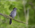 Gray-Catbird;Catbird;Dumetella-carolinensis;one-animal;close-up;color-image;nobo