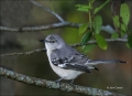 Northern-Mockingbird;Mockingbird;Mimus-polyglottos;one-animal;close-up;color-ima