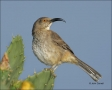 Texas;Thrasher;Curve-billed-Thrasher;Rio-Grande-Valley;Southwest-USA;Toxostoma-c
