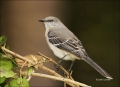 Florida;Northern-Mockingbird;Mockingbird;Mimus-polyglottos;one-animal;close-up;c
