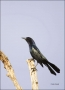Florida;Southeast-USA;Boat-tailed-Grackle;Grackle;Quiscalus-major;one-animal;clo