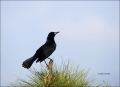 Boat-tailed-Grackle;Grackle;Quiscalus-major;portrait;avifauna;eye;nature;wild;wi