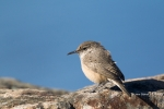 One;Rock-Wren;Salpinctes-obsoletus;Wren;avifauna;bird;birds;color-image;color-ph