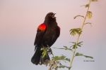 Agelaius-phoeniceus;Blackbird;One;Red-winged-Blackbird;Sunrise;avifauna;bird;bir