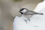 Mountain-Chickadee;One;Poecile-gambeli;Snow;Winter;avifauna;bird;birds;color-ima
