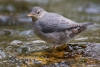 American-Dipper;Cinclus-mexicanus;Collier-State-Park;Dipper;One;Oregon;Spring-Cr