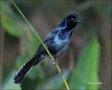 Boat-tailed-Grackle;Grackle;Quiscalus-major;one-animal;close-up;color-image;nobo