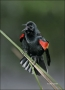 Red-winged-Blackbird;Blackbird;Agelaius-phoeniceus;Male;one-animal;close-up;colo