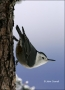 White-breasted-Nuthatch;Nuthatch;New-Mexico;Southwest-USA;One;one-animal;avifaun