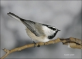 Mountain-Chickadee;Chickadee;Poecile-gambeli;one-animal;close_up;color-image;nob