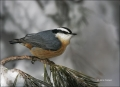 Red-breasted-Nuthatch;Nuthatch;New-Mexico;Southwest-USA;Sitta-canadensis;one-ani