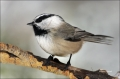 Mountain-Chickadee;Chickadee;Poecile-gambeli;one-animal;close-up;color-image;nob