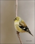 American-Goldfinch;Goldfinch;Carduelis-tristis;one-animal;close-up;color-image;n