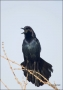 Boat-tailed-Grackle;Grackle;Florida;Southeast-USA;Quiscalus-major;one-animal;clo
