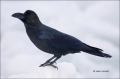 Jungle-Crow;Corvus-macrohynchos;Crow;Japan;One;one-animal;avifauna;bird;birds;fe