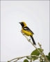 Hooded-Oriole;Oriole;Male;Texas;Southwest-USA;Icterius-cucullatus;one-animal;clo