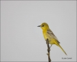 Hooded-Oriole;Oriole;Female;Texas;Southwest-USA;Icterius-cucullatus;one-animal;c
