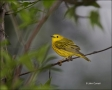 Yellow-Warbler;Warbler;Dendroica-petechia;one-animal;close-up;color-image;nobody