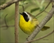 Ohio;Common-Yellowthroat;Warbler;Geothlypis-trichas;one-animal;close-up;color-im