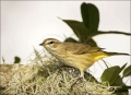 Florida;Palm-Warbler;Warbler;Southeast-USA;Dendroica-palmarum;one-animal;close-u