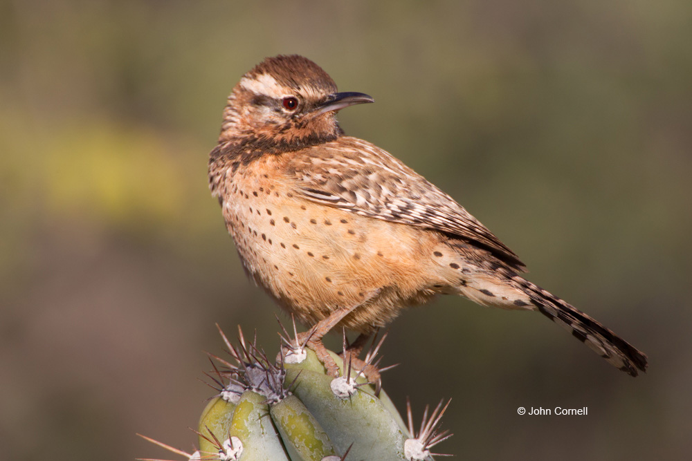 Breeding Behavior;Breeding Plumage;Cactus Wren;Campylorhynchus brunneicapillus;Nesting;One;Wren;avifauna;bird;birds;color image;color photograph;feather;feathered;feathers;natural;nature;outdoor;outdoors;wild;wilderness;wildlife