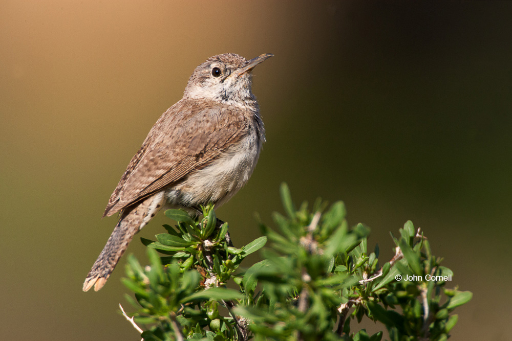 Rock Wren;Salpinctes obsoletus;Wren;one animal;close up;color image;photography;day;outdoors;wildlife;birds;animals in the wild