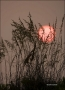 Florida;Sea-Oats;Sunset;Unilola-paniculata;Beach