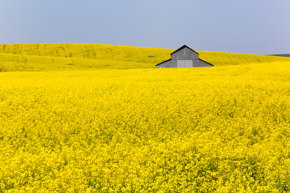 Brassica napus;Canola;Palouse;Washington