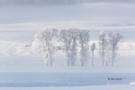 Fog;Frost;Frozen-Trees;Lamar-Valley;Scenic;Snow;Trees;Winter;Yellowstone-Nationa
