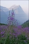 Mountain-Lupine;Montana;Lupinus-alpestris;Mountain;Scenic;Glacier-National-Park;