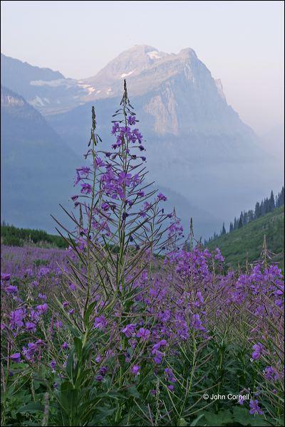 Mountain Lupine;Montana;Lupinus alpestris;Mountain;Scenic;Glacier National Park;Sunrise
