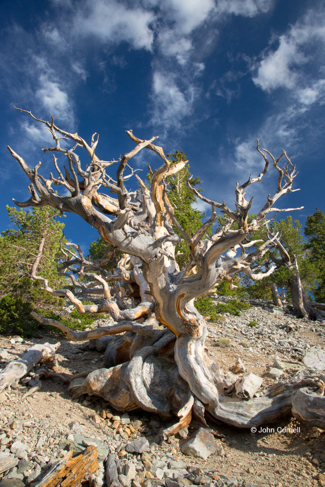Ancient Bristlecone Forest;Blue Sky;Bristlecone Pine;Clouds;Great Basin National Park;Nevada;Pinus longaeva;ancient trees