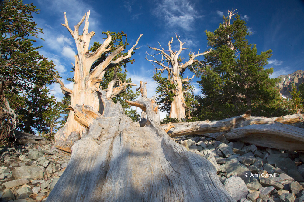 Ancient-Bristlecone-Forest;Blue-Sky;Bristlecone-Pine;Clouds;Great-Basin-National