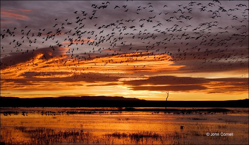 New Mexico;Southwest USA;Bosque del Apache;Sunrise;Snow Goose;Chen caerulescens;Clouds;Sky;Snow Geese