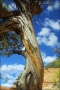 Pinon-Pine;Utah;Pinus-cembroides;Blue-Sky;Clouds;Tree;Desert;Red-Rocks;Slick-Roc