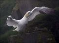 Gannet;Northern-Gannet;Morus-bassanus;one-animal;close-up;color-image;photograph