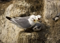 Kittiwake;Black-legged-Kittiwake;Rissa-tridactyla;Nest;Chick;one-animal;close-up