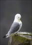 Black-legged-Kittiwake;Kittiwake;Rissa-tridactyla;Black-legged-Kittiwake;one-ani