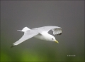 Black-legged-Kittiwake;Kittiwake;Rissa-tridactyla;Black-legged-Kittiwake;flying-