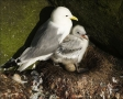 Black-legged-Kittiwake;Chick;Kittiwake;Black-legged-Kittiwake;Rissa-tridactyla;N