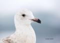 Glaucous-winged_Gull