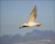 Glaucous-winged-Gull;Gull;Larus-glaucescens;Japan;One;one-animal;avifauna;bird;b